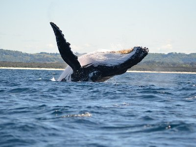 humpback-whale-waving-byron-bay